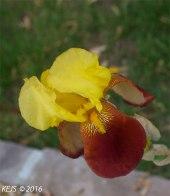 yellow_iris