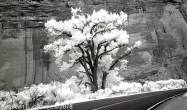 LongCanyonTree_Crop3