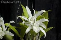Cattleya2A