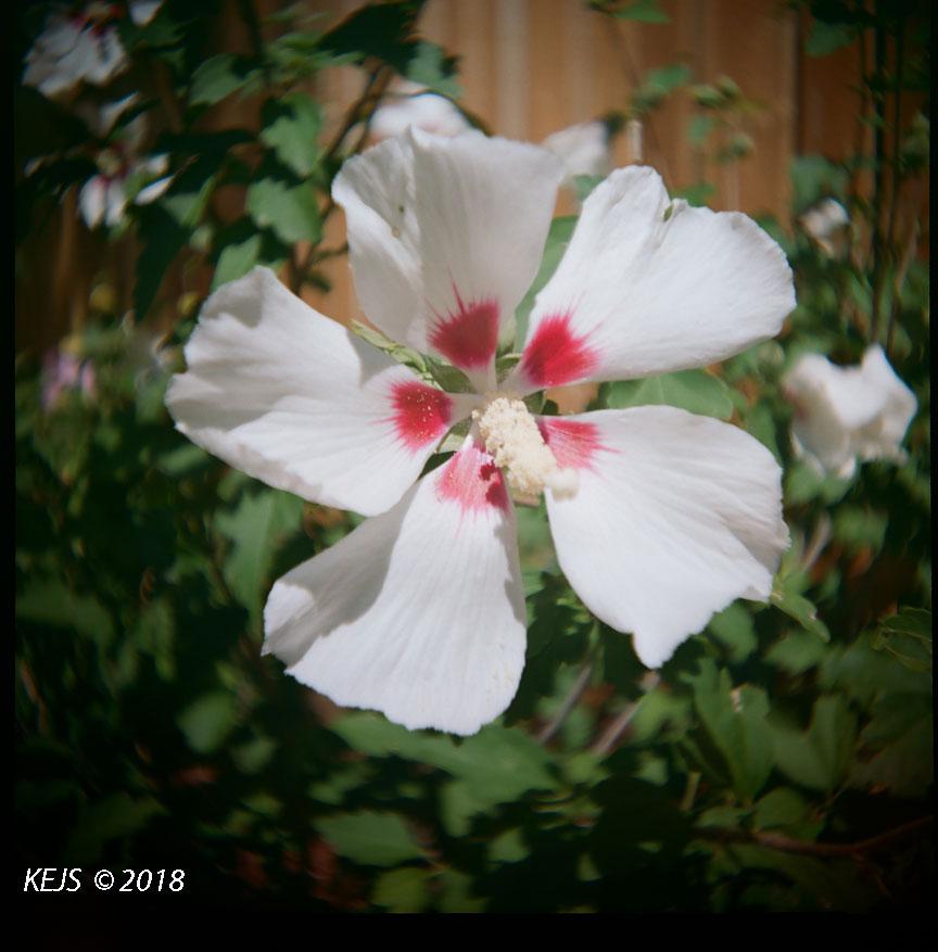 Rose_Sharon