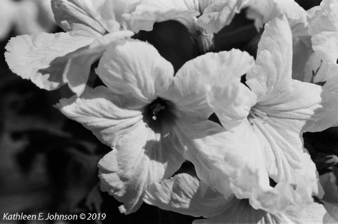 B&W_White_Flower1