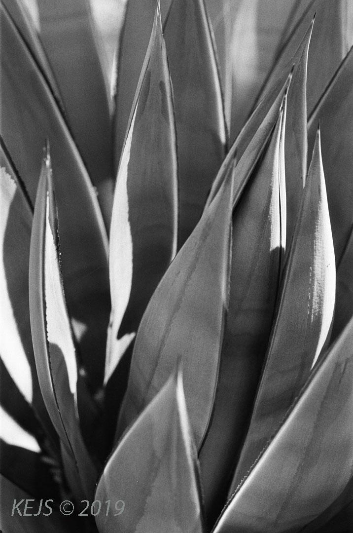 Cactus_B&W_Agave