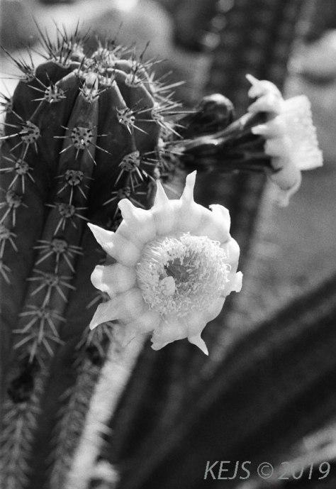 Cactus_B&W_Saguaro