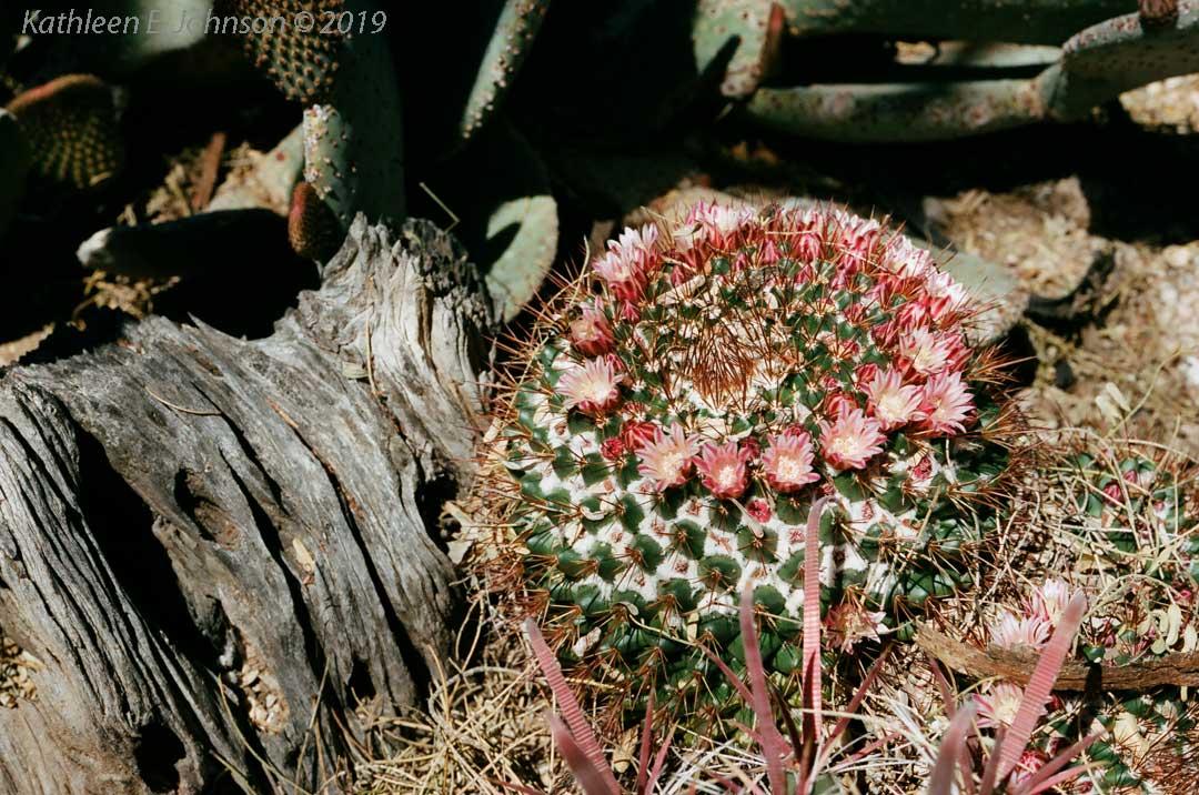 Mayo_Barrel_Cactus