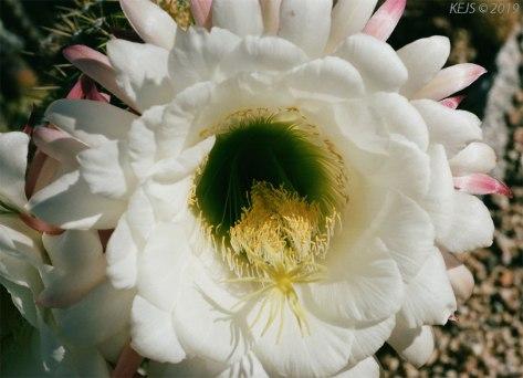 Mayo_Cactus1