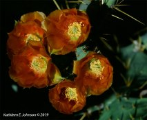 Orange_Opuntia1