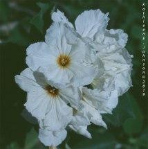 White_Flower1