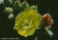 Yellow_Opuntia1