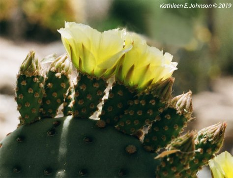 Yellow_Opuntia3
