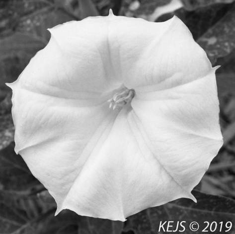 Botanicals_Datura