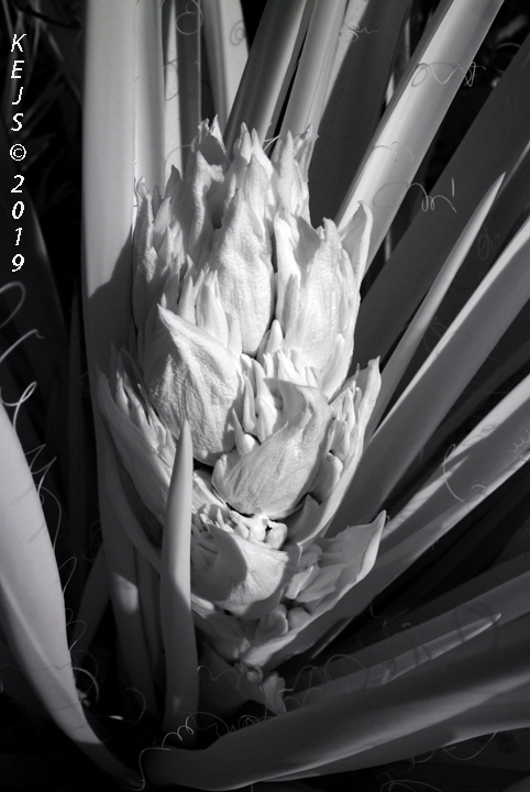Botanicals_Yucca_Baccata