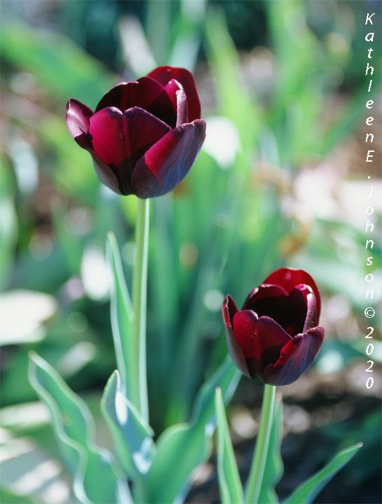 E100_Tulip1