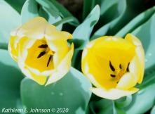 E100_Tulip2