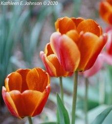 E100_Tulip4
