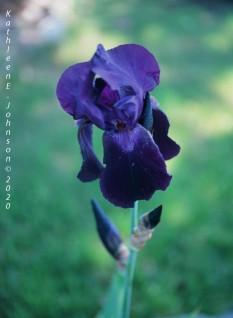 Velvia_50_Iris1
