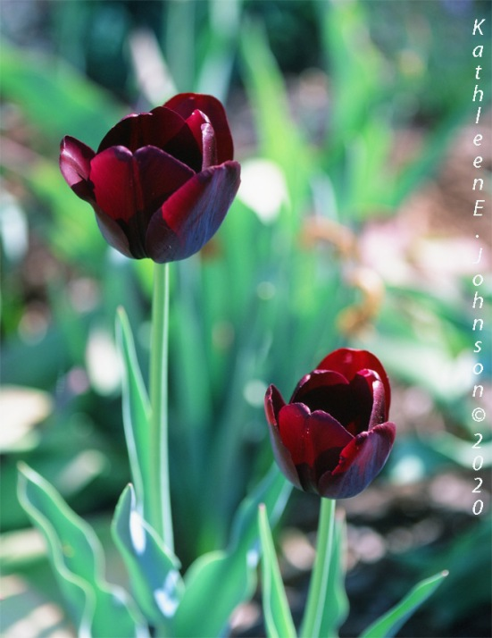 Velvia_Tulip1