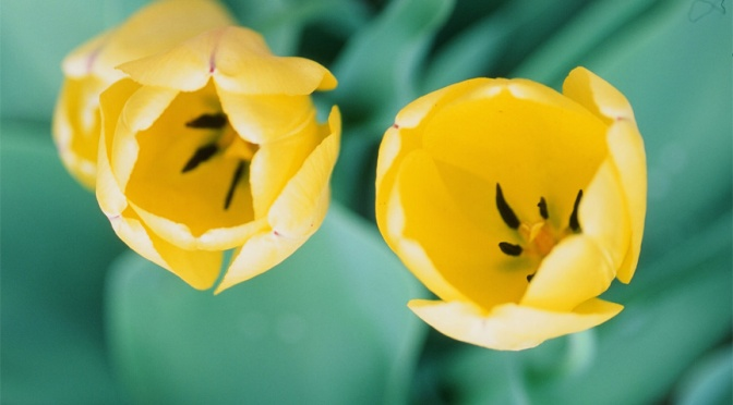 Velvia 50 vs. E100 Continues…..with Tulips